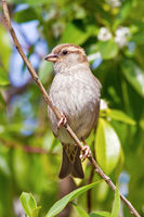 House Sparrow female (Passer domesticus)