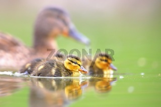 Family of mallards with little ducklings swimming on water in springtime