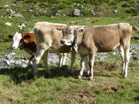 Three young cattle