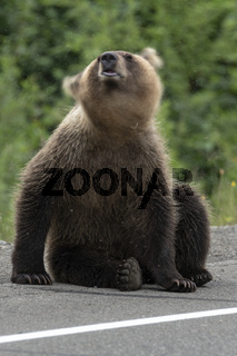 Young brown bear waving its head scaring mosquitoes. Blur, wild animal in motion