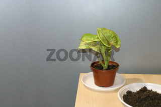 Syngonium Butterfly Allusion potted house plant