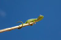A chameleon moves along a branch in a rainforest in Madagascar