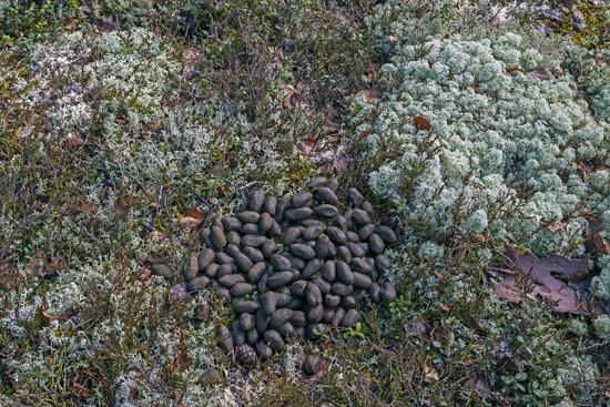 Moose scat - Moose droppings / Alces alces
