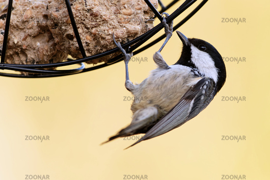 Coal tit with a fat ball