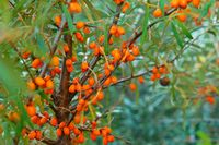 orange sea buckthorn berries on the bushes, sea buckthorn