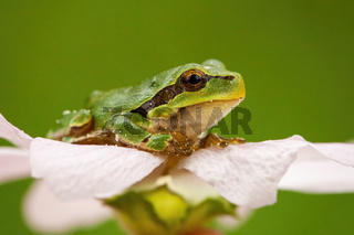 Little european tree frog sitting in flower head in summer nature