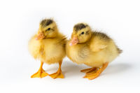 two yellow ducklings isolated