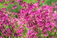 Flowers Viscaria vulgaris in the garden