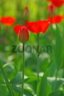 A tulip bud in the blurry background bokeh of blooming red tulips