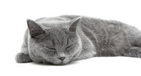 sleeping gray cat (breed scottish-straight) on a white background