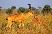 Jackson's hartebeest, Murchison Falls National Park Uganda
