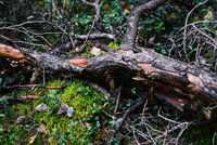 A broken tree branch lies on a moss. Forest driftwood from conifer. Collection of wood and firewood in the forest. Forest vegetation