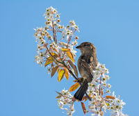 Sparrow bird sitting on a white flowering tree