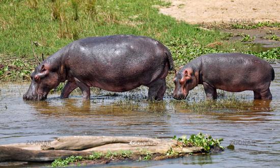 Hippos in the Nile at Murchison Falls National Park Uganda (Hippopotamus amphibius)