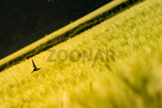 Swallow over a wheat field