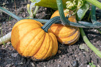 Dutch allotment garden in autumn with ripe pumpkins