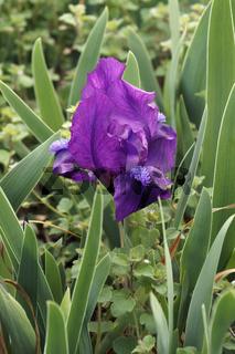 Close-up image of Dwarf Bearded iris flower