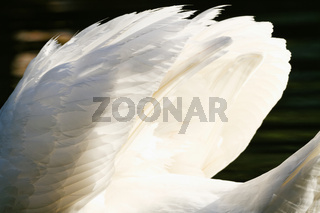 Photo of a beautiful white swan in the lake
