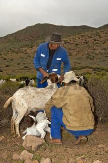Nama Ziegenhirten lassen junge Burenziegen zum Säugen an das Muttertier