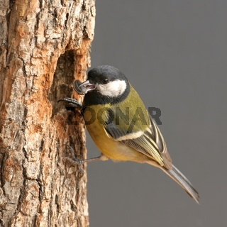 Tit  great perched on wood