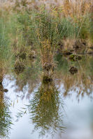 Small island of reed grass in a lake with strong reflections and copy space