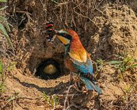 Bee-eater holding a butterfly in its beak