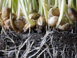 keimender Weizen
