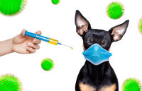 ill sick dog with illness and face mask , virus all over