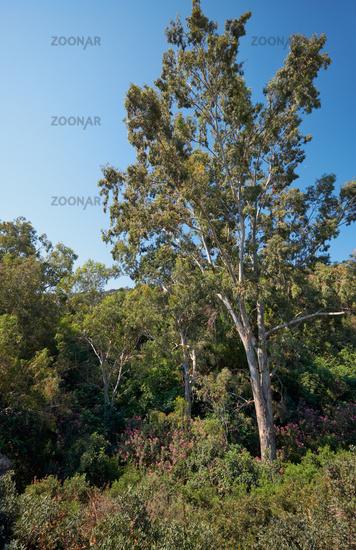 High eucalyptus in the Botanical garden near village of Latchi on Akamas Peninsula.  Cyprus