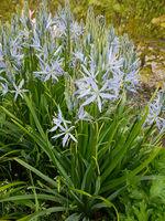 Praerielilie, Camassia, leichtlinii, Blue Heaven