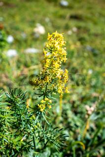 Galium verum wild flowers in Vanoise national Park, France