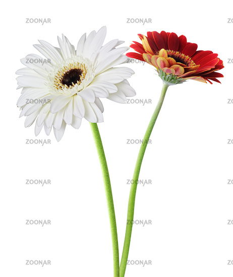 Two wonderful Gerberas (Daisies) isolated on white background. Germany