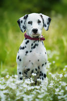 Dalmatian puppy in a flower meadow