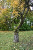 Malus domestica, Apple tree, dead tree