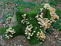 Honey fungus, Armillaria mellea