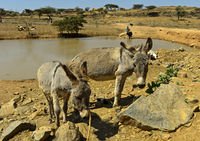 Donkeys at a watering place in the Hazwien Plain, Tigray, Ethiopia