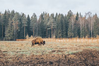 Bison in full growth in its habitat.