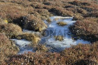 Gefrorener Bach in der herbstlichen Pflanzenwelt, Sydkap, Scoresby Sund, Ost-Grönland