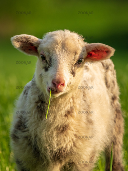 Curious lamb on a meadow