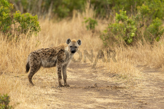 Spotted Hyena, Crocuta crocuta, Maasai Mara National Reserve, Kenya, Africa