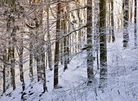 In the Forest of Snow