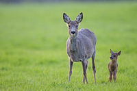 Roe Deer doe and fawn stand on a meadow and observe the photographer