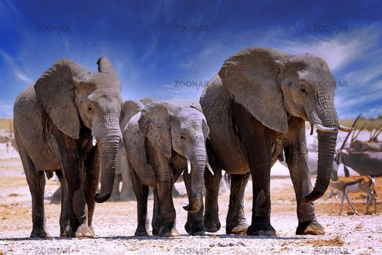 Elephants, Etosha National Park, Namibia, (Loxodonta africana) | elephants, Etosha National Park, Namibia, (Loxodonta africana)