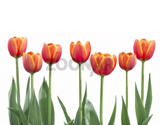 tulip flowers in a row isolated on white background