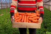 Crate full of fresh carrots ready for market