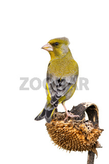 European greenfinch sitting on sunflower isolated on white background.