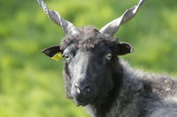 Ragged sheep, Ovis aries strepsiceros Hungaricus