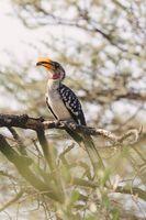 northern red-billed hornbill Ethiopia wildlife