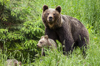 Protective brown bear mother guarding her cub in tall green grass by spruce tree