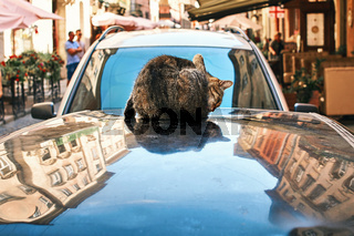 Cat washing itself sitting on an automobile roof in the old historical European city center